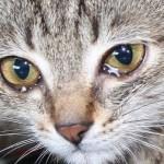 Zašto mačke plaču?