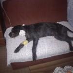 TUŽNE VESTI: Uginuo Bole, pas za kog su studentkinje iz Kragujevca sakupljale novac!