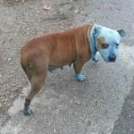 ZRENJANIN: Sara pronašla ženku psa – ofarbanu i vidno maltretiranu!