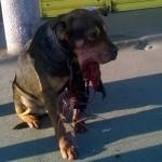 NAJNOVIJE INFORMACIJE: Trojica mladića osumnjičeni za ubistvo psa petardom!