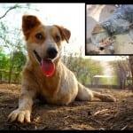 Bio je spreman za eutanaziju, a onda…TONI JE ČUDO OD PSA!
