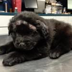 ČUDO: Ovo štene se oporavilo nakon što je upucano 18 puta!