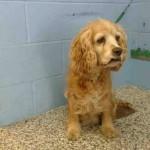 Pas koji plače srušio Internet: Starog psa vlasnici ostavili u azilu i uzeli mladog labradora!