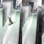 MAJČINSKI INSTIKT: Kuja Megi začula cviljenje štenaca i pribila se uz boks kako bi ih umirila!