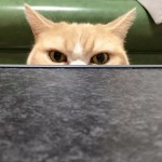 """Sećate li se """"Grumpy Cat"""": Mrzovoljna konkurencija joj stiže pravo iz Japana!"""