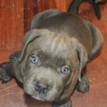Zbog sindroma sa kojim je rođeno ovo štene mastifa uzgajivač je hteo da ga uspava, ali mu je Dženi spasila život!