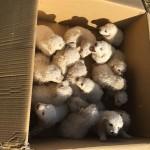 REKORD: Kuja Stela je nedavno oštenila čak 17 štenaca!