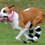 Blosom nema zadnje šape, ali to je ne sprečava da bude aktivan pas!