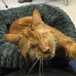 Slepi mačak po imenu Skuter verna je senka svoje nove vlasnice!