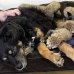 Pas je postao dadilja malim gepardima nakon smrti njihove majke! (VIDEO)