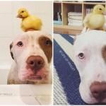 NIŠTA LEPŠE: Udomljeni psi brinu o dva pačeta!