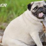 Uz Personal Trainer rešite problem gojaznosti vašeg ljubimca!