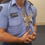 Policajac je udomio kengura, čiju mamu je udario kamion!