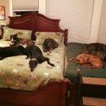 Ovaj bračni par je u svoju spavaću sobu morao da smesti još jedan krevet kako bi mogao da spava sa sedam udomljenih pasa!