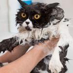 Kako prevazići strah od kupanja kod mačaka?