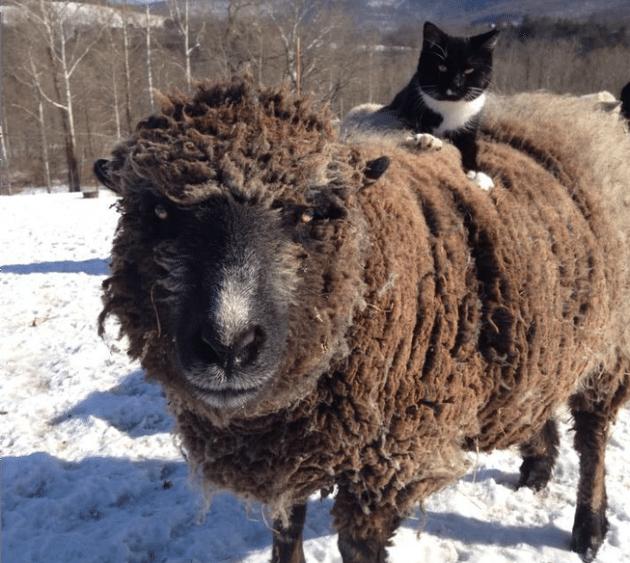 mačak petafce