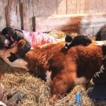 PRIJATELJSTVO BEZ GRANICA: Ovaj mačak je tešio kravu u poslednjim satima njenog života!