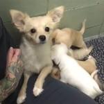 DIRLJIVO: Ponovni susret mame čivave sa njenim štencima! (VIDEO)