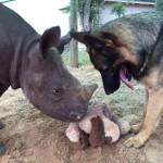 SJAJNO: Pas uči mladunče nosoroga da se igra sa plišanom igračkom!