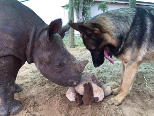 mladunče nosoroga petface