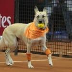 FENOMENALNO: Spašeni psi lutalice rade kao sakupljači loptica na teniskom turniru!