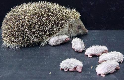 Bebe ježeva petface