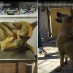OD OČAJA DO SJAJA: Ovaj neuhranjeni pas je bio na ivici smrti, a spašen je u poslednjem trenutku!