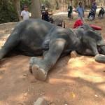 Okrutna SMRT: Slonica zbog isrpljenosti doživela srčani udar!