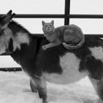 NJEGOVO VISOČANSTVO:Mačak po imenu Teton kralj je jedne farme!