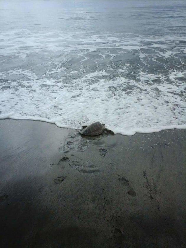 kornjače petface