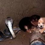 NEVEROVATNO: Kraljevska kobra čuvala dva šteneta u jednom bunaru čak 48 sati!