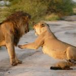 ČUDESNO: Lavica zaštitila povređeno mladunče lisice od mužjaka iz čopora!