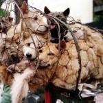 """Kinezi pripremaju """"najužasniji festival psećeg mesa"""", komentari u Srbiji su: """"Šta se nas to tiče""""!"""