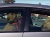 ostavili svoje ljubimce u automobilu petface