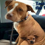 Pit bul iz jednog prihvatilišta nije želeo da u svoj novi dom ode bez najboljeg prijatelja – čivave!