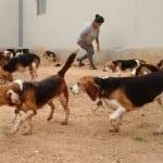 INDIJA: Više od 150 pasa rase bigl oslobođeno je iz jedne farmaceutske laboratorije!