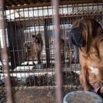 FESTIVAL PSEĆEG MESA: 170 pasa je spašeno sa farme u Južnoj Koreji!