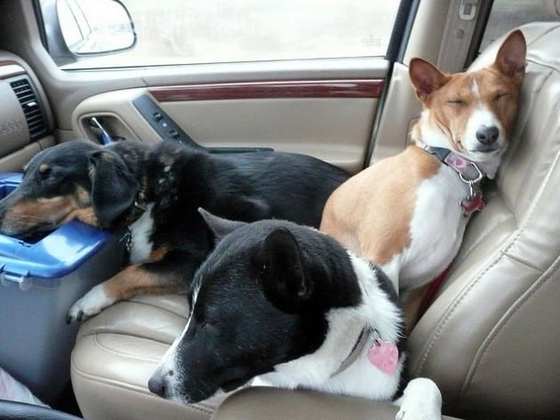 životinja u automobilu petface