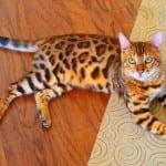 Ako imate ovu mačku, kod vas u domu je UVEK ŽURKA!