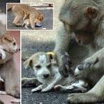 LJUBAV: Makaki majmun je usvojio napušteno štene!