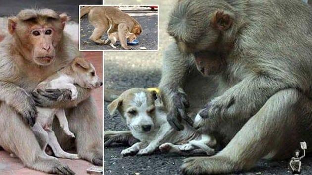 majmun je usvojio štene petface