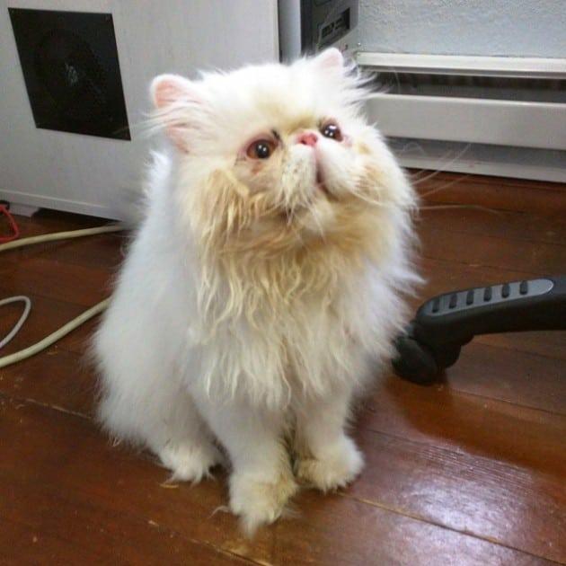 persijska macka petface