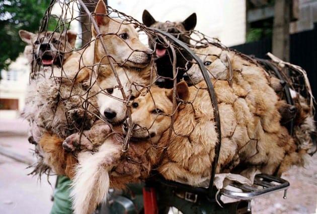 Festival psećeg i mačijeg mesa petface