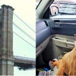 Vozač limuzine stao je nasred mosta kako bi spasao psa koji je trčao po kolovozu!