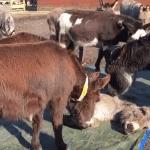VIDEO KOJI SE RETKO VIĐA: Krici magaraca koji se opraštaju od uginulog prijatelja!