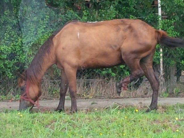 Konj petface