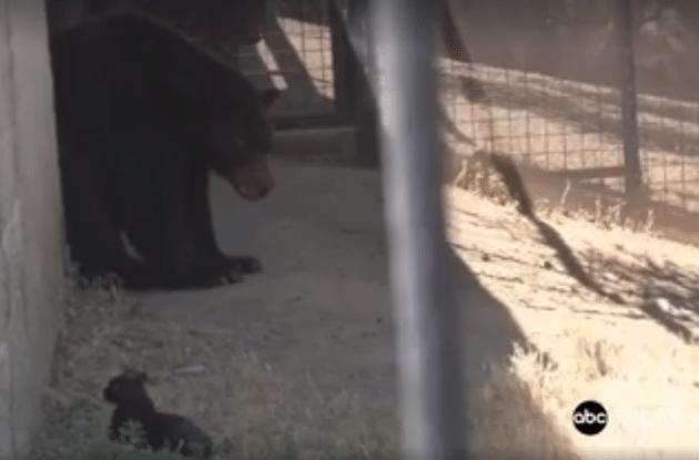 Mačka i medved petface
