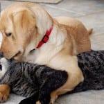 HUMANOST: Labrador Mejsi donirao krv za macu Rori i tako joj spasio život!