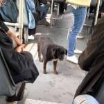 BEOGRAD: Pre nego što uđe u GSP, pas pogleda u vozača i čeka znak da može da uđe!