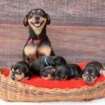 Najlepši dan u životu psa – dan kada postaje mama!